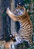 Sibirische Tigerbabies 2
