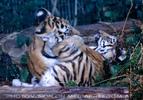 Sibirische Tigerbabies 3