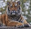 Sibirische Tigerin