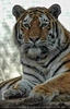 Sibirischer Tiger 06