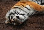 Sibirischer Tiger 13