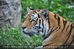 Sibirischer Tigerin