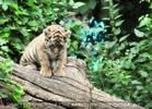 Tigerbaby Ausflug