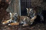 Tigerbaby Geschwister Kyra und Ina