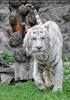 Weiße Tiger 06