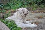 Weiße Tiger 07