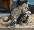 Leoparden Baby spielt mit Mutter