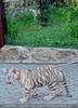 Weißer Tiger Nachwuchs 43