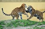 Tiger Tanz #1
