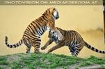 Tiger Tanz #2