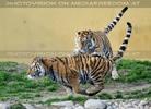 Tiger Tanz #3