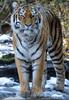 Sibirische Tiger 01