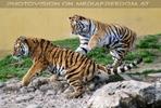 Tiger Tanz #4