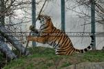 Tiger Tanz #5