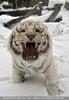 Kinderstube der weißen Tiger Drillinge 05