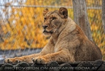 Afrikanische Löwen 2