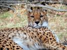 Gepard 6