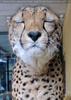 Geparde 7