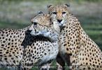 Geparden 3