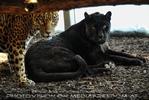 Jaguar Geschwister