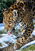 Jaguare 3