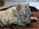 Weißer Tiger Nachwuchs 07