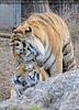 Sibirische Tiger 14