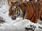 Sibirischer Tiger 01
