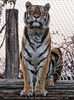 Sibirischer Tiger 07