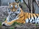 Sibirischer Tiger 09