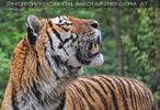 Sibirischer Tiger aufmerksam