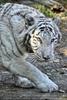 Weiße Tiger 03