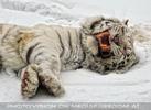 Kinderstube der weißen Tiger Drillinge 08
