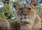 Afrikanische Löwen 04