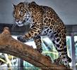 Jaguare 1