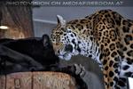 Jaguare 2