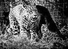 Jaguare