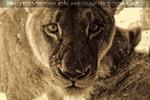 Löwin Portrait