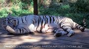 Hygiene des weissen Tigers