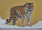Chef Tiger im Winter