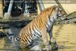 Sibirische Tiger 10