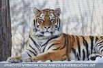 Prächtige Tigerin im Schnee