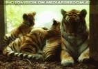 Stolze Tigerin mit ihren Babys