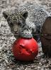 Leoparden Baby spielt mit Ball