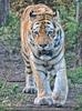 Tiger auf dem Weg zu...