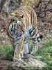 Tiger schleicht herum