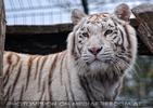 Die weissen Tiger Vierlinge 01