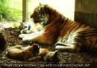 eine selten komplette Tigerfamilie