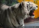Weisser Tiger pfaucht