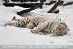 Kinderstube der weißen Tiger Drillinge 03